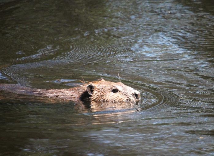 North American Beaver (Castor canadensis), Comox Valley, British Columbia.