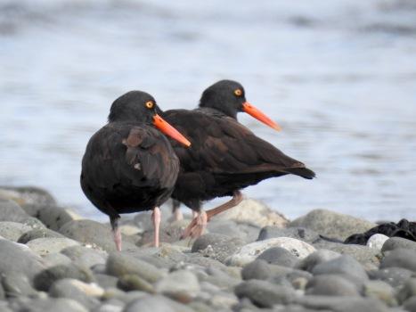 Black Oystercatchers (Haematopus bachmani), Saratoga Beach, British Columbia.